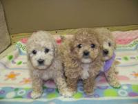 Toy Poodle/Bichons for sale. The mommy is a Bichon and