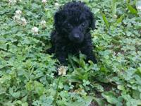 Cute loving 9 week old toy poodle to good loving home.