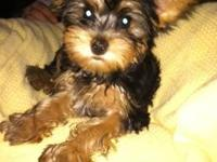Very cute home raised CKC registered Yorkie puppies