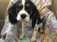 Cute Tri colored AKC King Charles Spaniel. She is 4
