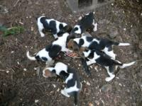 For sale is 5 male tri colored beagle puppies born on