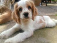 I have 3 cocker spaniel 10 weeks old,(1 white/buff