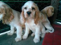 I have 4 cocker spaniel(9 weeks old) born on 10 April,