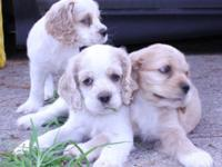 i only have 4 puppies 9 weeks old (2 white/buff female,