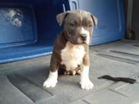 Beautiful Pitbull puppy. Born September 13th. Will be