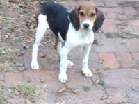 This is Pistol. She is a Walker Hound. About 3 months
