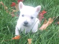 The sturdy West Highland White Terrier, more commonly