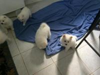 This Listing is for White American Eskimo Puppies.