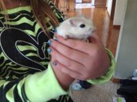 cute gerbil just over a year old. My daughter is very