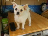 Cute White Male Pomeranian/Chihuahua Mix Puppy born on