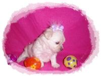 Tiny White MalShi Puppy. Maltese / Shih Tzu. Taking