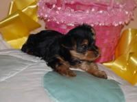 X Mas yorkie puppies for adoption.Cute and Adorable