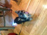 Female yorkie, She is very playfull and energetic,