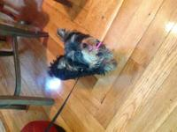 Cute 6 month old yorkie,very energetic and playfull!