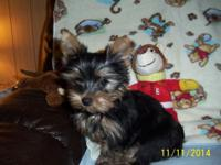 Adorable yorkie male 12 week old young puppies. only 2