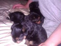 Doll face puppies 4 weeks old. 2 girls 1 boy. All have