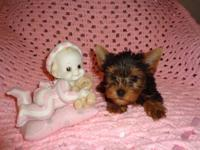 Beautifull Yorkie minitoy Female, 3 months old, has