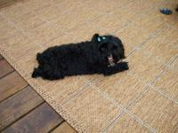 Black and white female yorkie poo 3yrs old. House