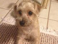 Charming 8 month old yorkie-poo. totally housetrained