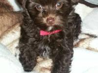 Cute chocolate 3 mo.old Yorkie-Poo! Her name is BooBoo