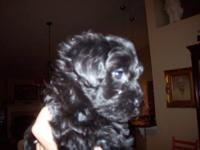 Five adorable Yorkie Poo puppies. There are 4 females