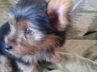 Cute Yorkie pup ready for new home. Has shots and pure