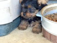 I have 5 cute yorkie young puppies. There are 4 boys