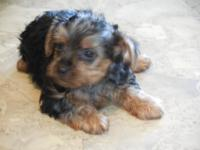 2 Cute yorkie puppies. They are purebred ,but no