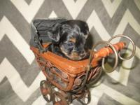 One female and two male yorkie puppies for re-homing.