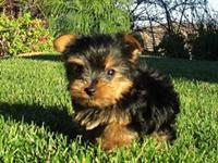 Yorkie teacup puppy's AKC 14 wks old very small 3