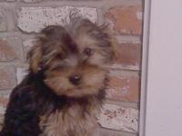 We have 2 Yorkie puppies. They are purebred but are