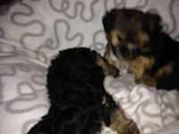 Our Yorkie Puppies are 11 weeks old and AKC reg, home