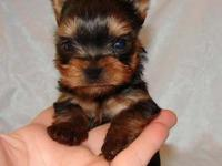 Gorgeous Yorkie puppies for adoption. Super sweet &