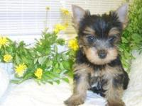 Cute and lovely yorkie puppies. Puppies are well train