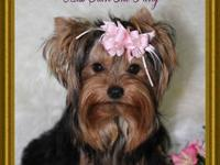1 a k c female yorkie 12 weeks old 2 lb can for pet