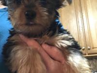 Healthy beautiful Yorkshire terrier girl pups,looking