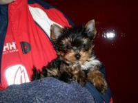 Animal Type: Dogs Teacup Yorkie Puppies For Rehome