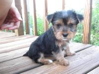 I have 3 yorkies available. APRI registered. Father is