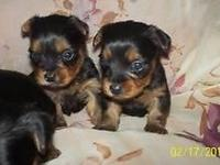 WE HAVE A PRETTY LITTER OF YORKIE PUPPIES THAT ARE