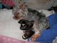 I have a beautiful litter of Yorkies born