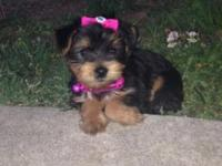 We have a cute little yorkie named Bella up for sale to