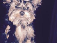 I am selling my 4 month old yorkie. He is pad trained,