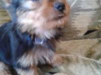 Loving yorkie looking for a loving home. Will not get