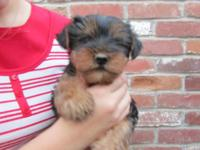 We have 1 male Yorkie for sale. He is 14 weeks old. He