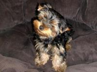HI, I have an ACA registered 3 month old male Yorkie