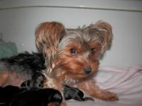I have one cute small male Yorkie left out of a litter