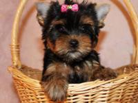 Yorkshire Terrier a female and a male. Both are toilet