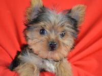 Available Yorkie registered teacup sized puppies ready