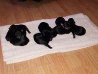 Yorkiepoo puppies 5 girls 2 boys. Charting weight to be