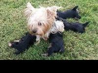 Below are the photos of 3 female Yorkshire Terrier
